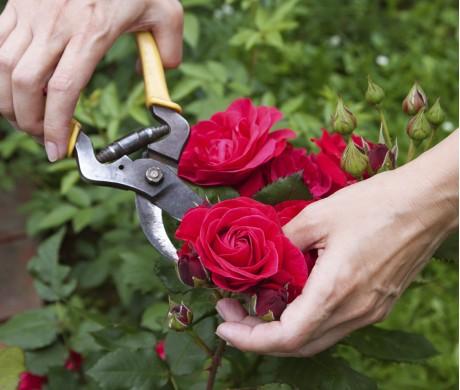Кратко об уходе за розами