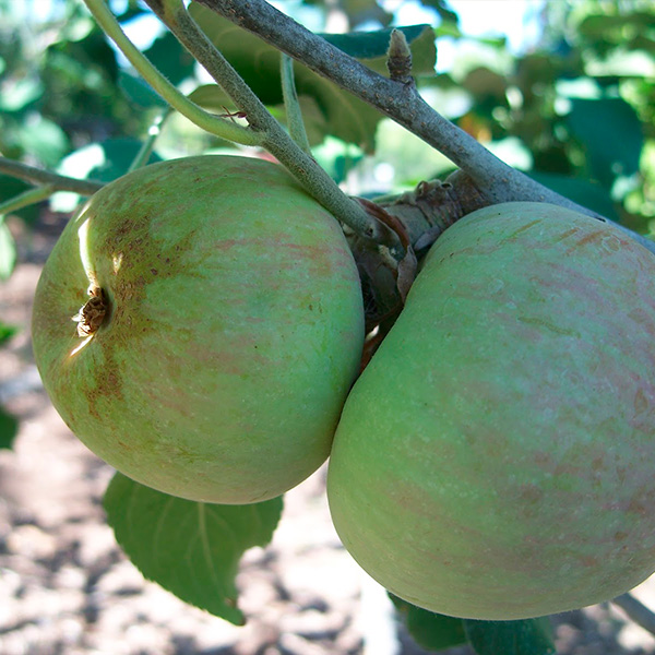 Яблоня Грушовка зимняя