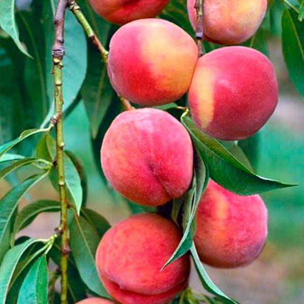 Колоновидный персик Золотой Триумф
