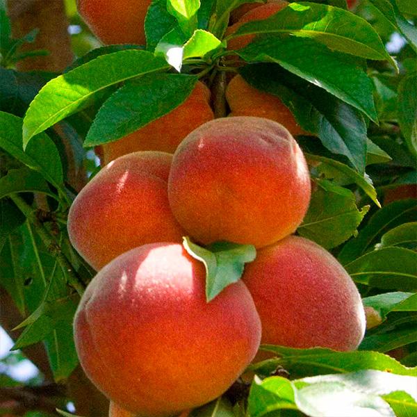 Колоновидный персик Сувенир