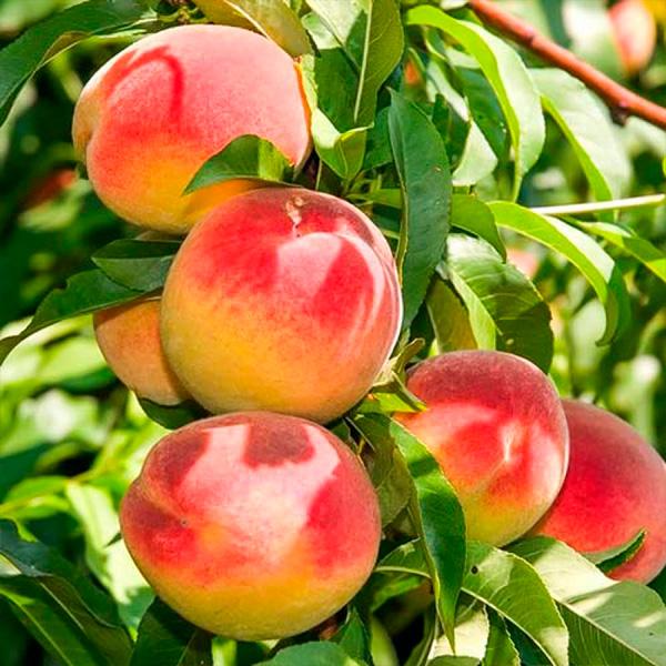 Колоновидный персик Юбилей Столицы