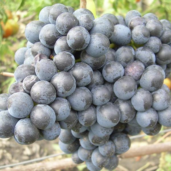 Виноград Мускат черный