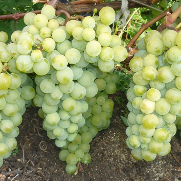 Виноград Мускат северный