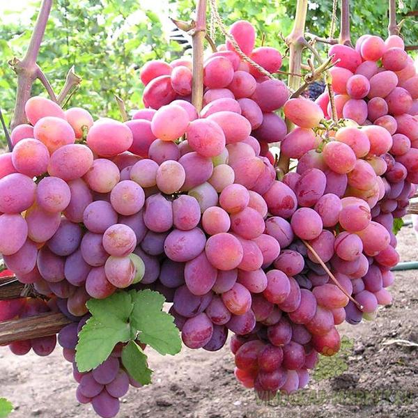 Виноград Мясистый розовый