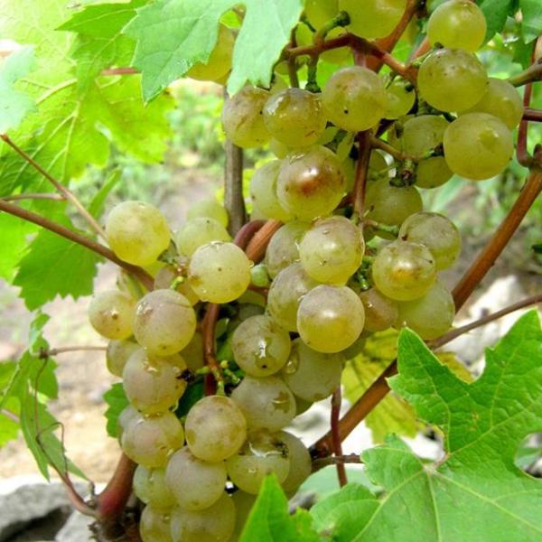 Виноград Северный ранний