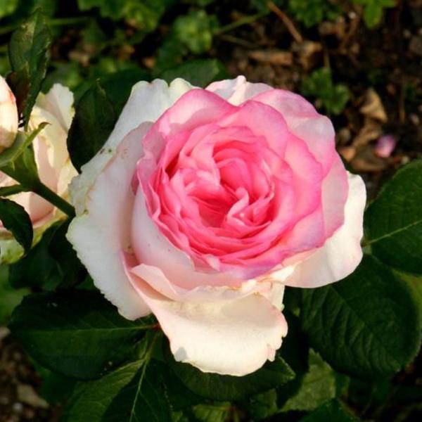 Роза Чайно-Гибридная Белла Вита