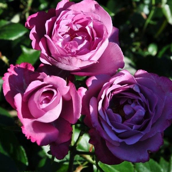 Роза Чайно-Гибридная Блю Ривер