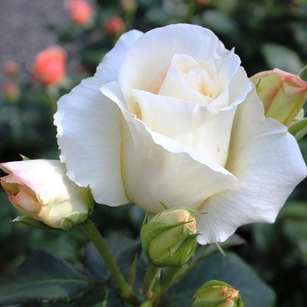 Роза Плетистая Шнеевальцер