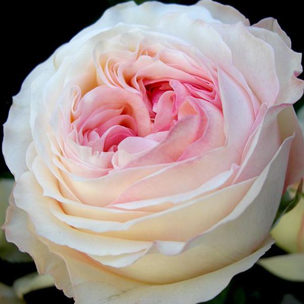 Роза Анжи Романтик