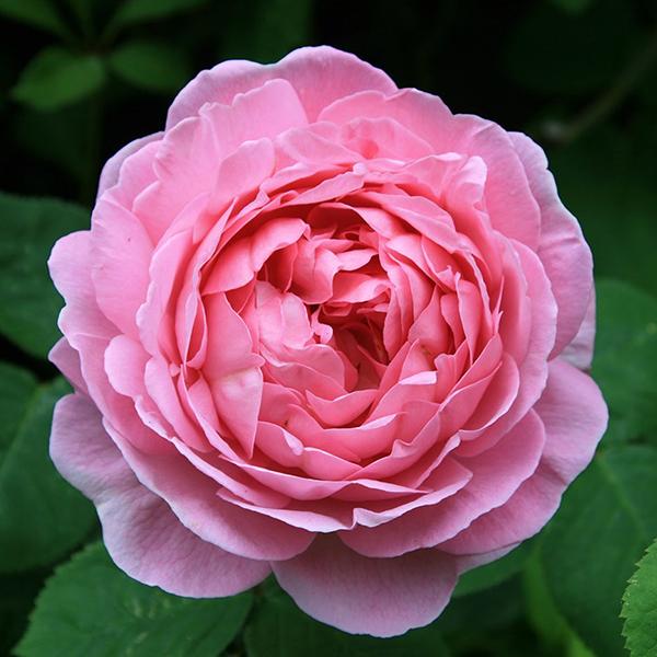 Роза Констанс