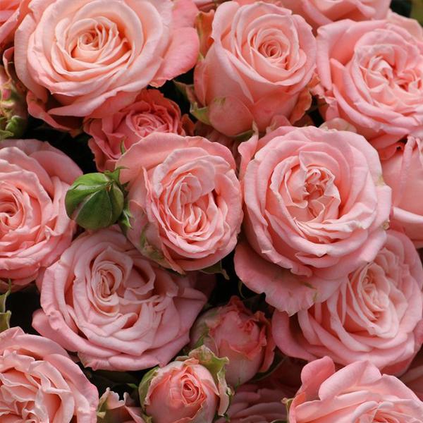 Роза Спрей Бомбастик