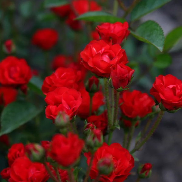 Роза Спрей Капелька Красная