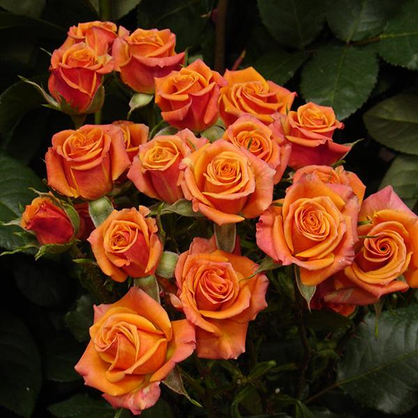 Роза Спрей Мамбо