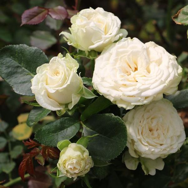 Роза Спрей Мисс Бомбастик
