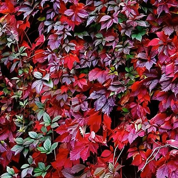 Девичий виноград Красная стена