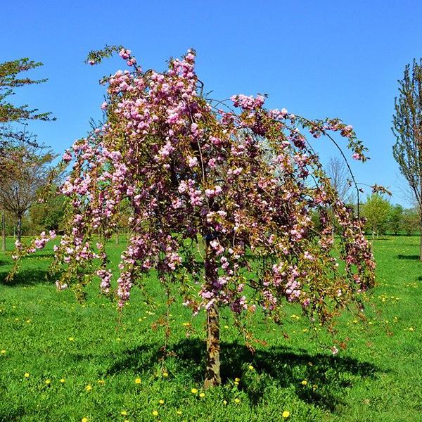 Плакучая вишня