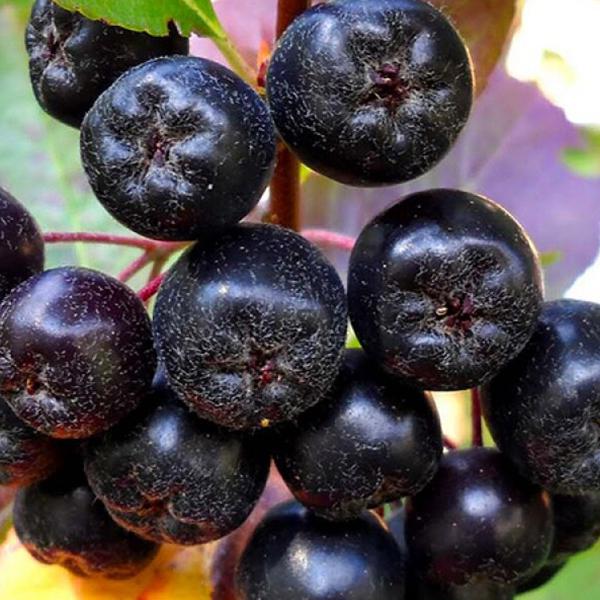Черноплодная рябина Рубина